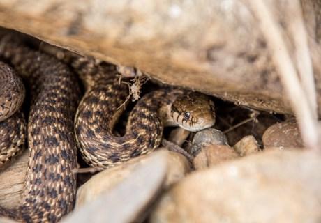 Northern Pacific Rattlesnake (Crotalus oreganus)