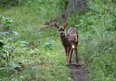 A spotted fawn on the Pacific Northwest Trail
