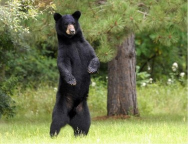 The American black bear is common along the Pacific Northwest Trail.