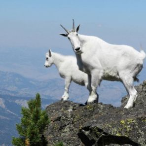 The nimble mountain goat makes the craggy, high altitude environments of North Cascades NP its home.