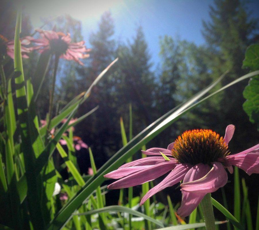 Echinacea in the August PNW Garden