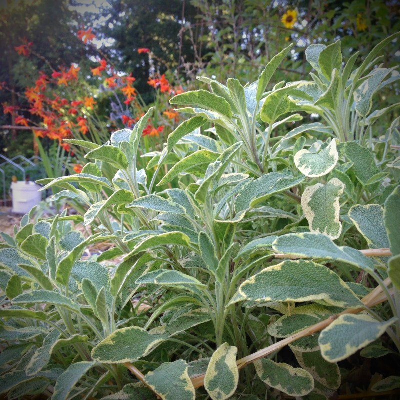 Pineapple sage in the PNW August Garden