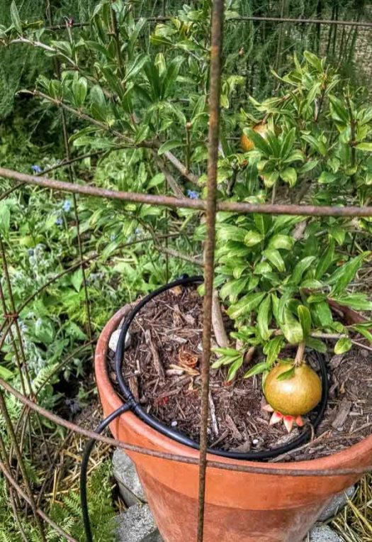 the cage protected the pomegranate experiment