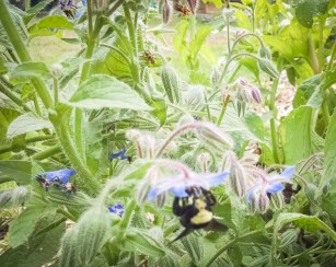 bees love borage