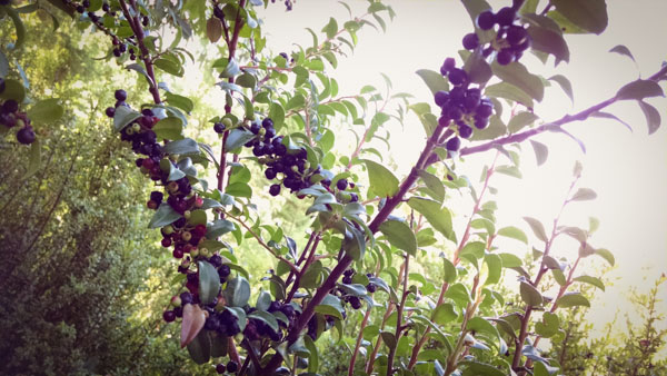 The Huckleberry Harvest – Medicinal Benefits Plus Tips for Easy Picking & Preserving