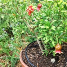 Northwest Grown Pomegranate! Easy Container Plant