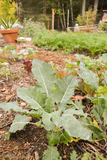 brassicas recovered from deer damage may overwinter after all