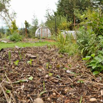 garlic planted in October is already pushing through the soil