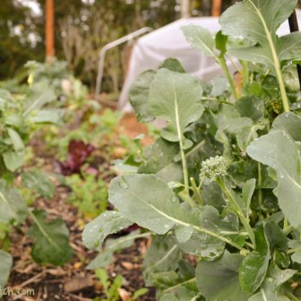 sprouting broccoli and salad bed