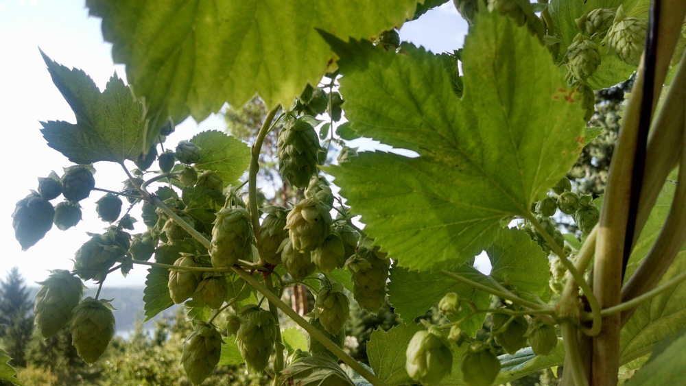 Hops for the PNW Medicinal Tea Garden