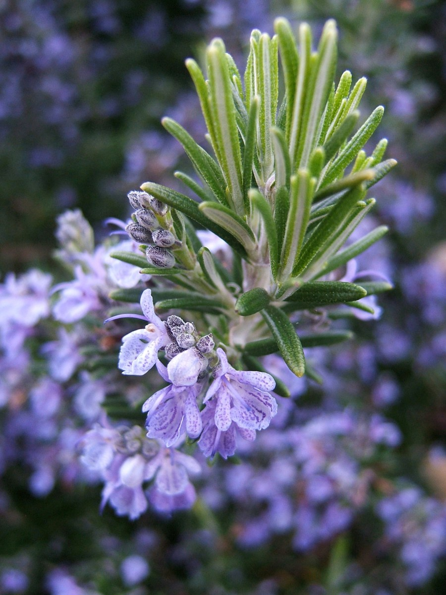 Rosemary Essential Oil Benefits, Safety, Uses & Recipes!