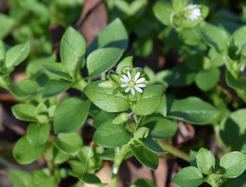 Edible and Medicinal Plants that Grow Just About Everywhere - Chickweed
