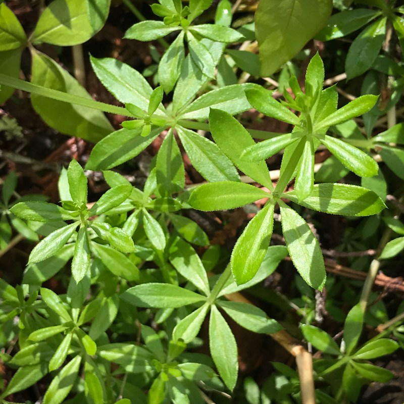 Northwest Foraging - a Patch of Cleavers (Galium Aperine)