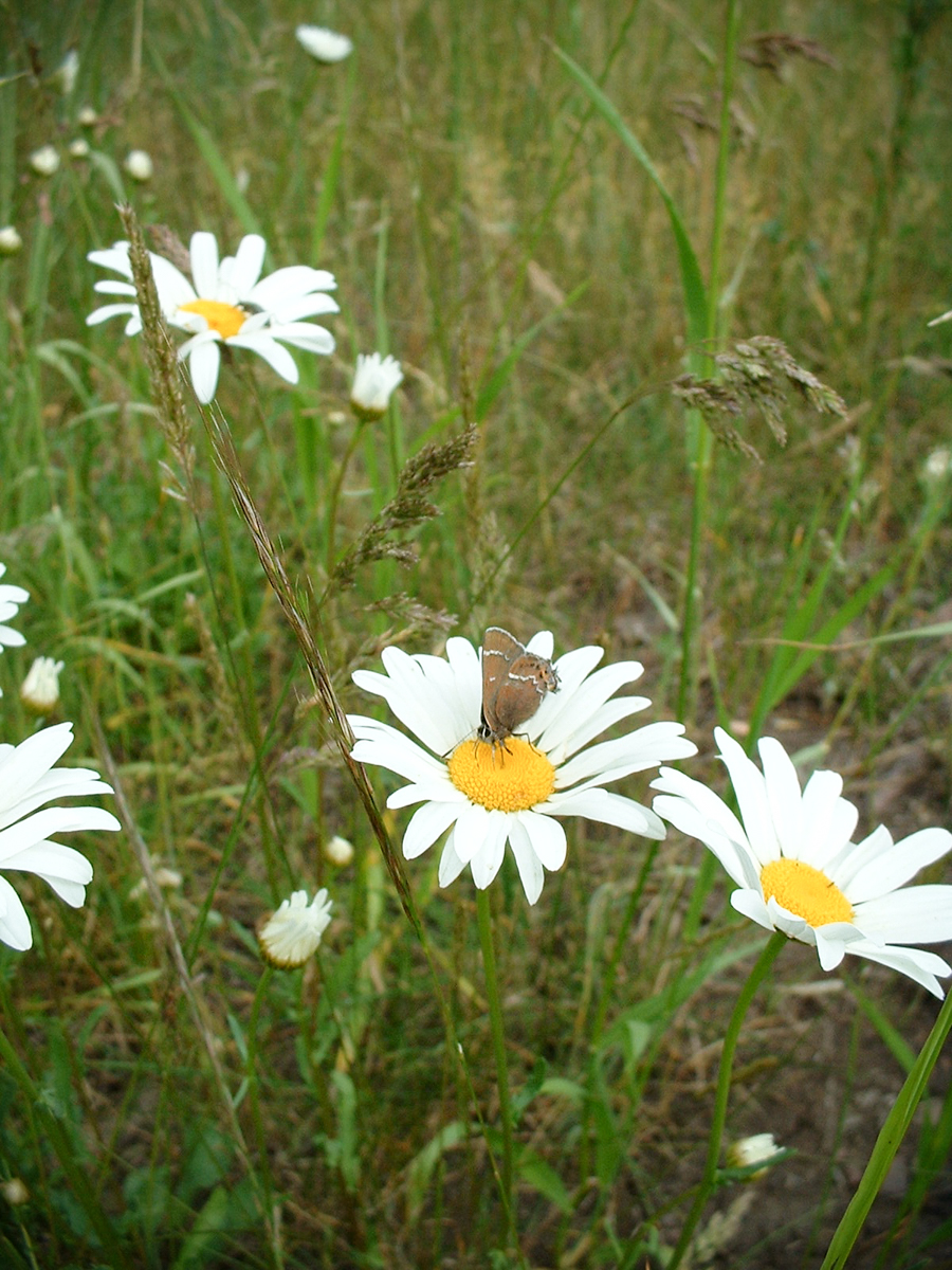 Flowering Oxeye Daisy and a Butterfly