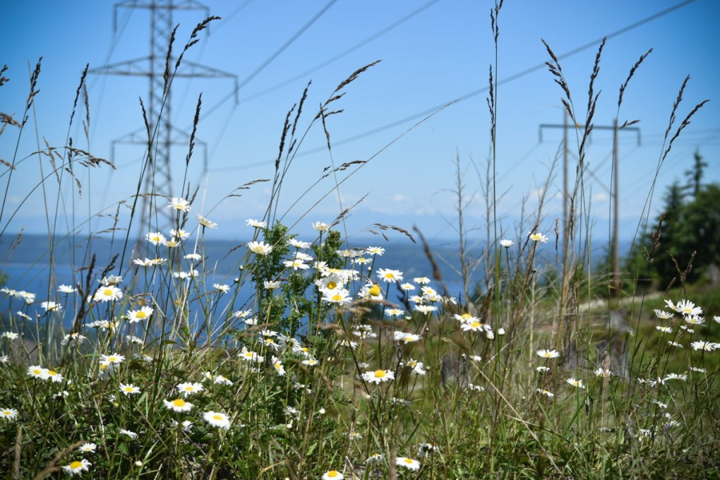 Oxeye Daisy on the Powerlines