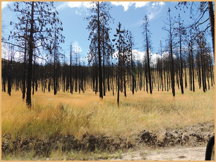 Dead trees are what is left in this patch of land in Pateros, Wash. Excess heat has made these trees even more dangerously flammable.