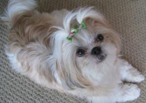 Beautiful Pocket Puppies Boutique Chicago Photo Gallery Castrophotos