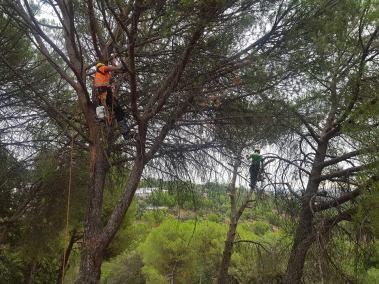 trabajando en poda de pinos