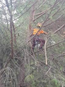 desbroce poda pinos