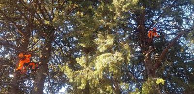 poda de pinos en moralzarzal