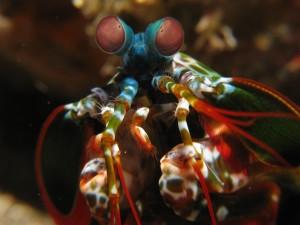 Mantis_shrimp_Odontodactylus_scyllarus