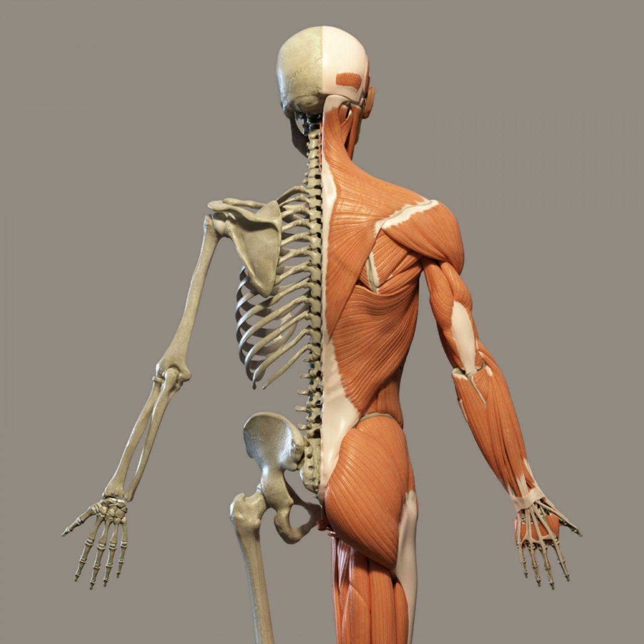 human-anatomy-1517257408wSc