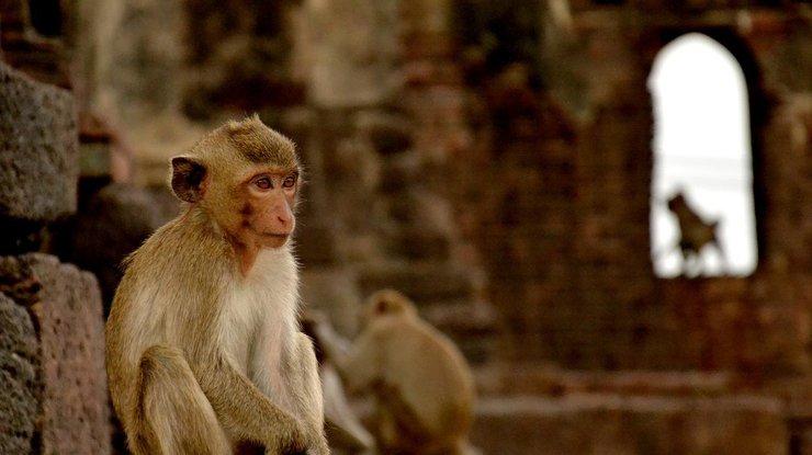 Балийские макаки научились шантажировать туристов