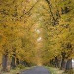 Zabytkowa aleja drzew w Wąsowie
