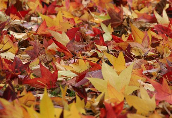 Golden-maple-leaves-gil-dekel-rina-bilu