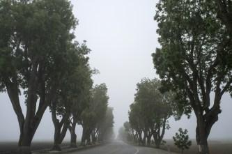 avenue-tree