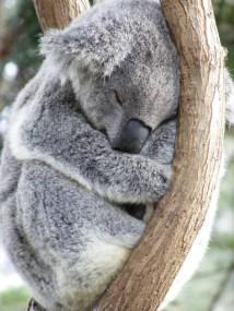 koala-sleep