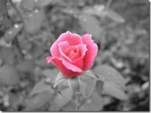 rose - A rose in the rain!