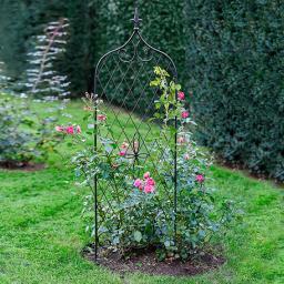 TulpenClematis Princess Kate  von Grtner Ptschke
