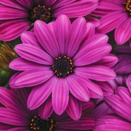 TulpenClematis Princess Kate online kaufen bei Grtner Ptschke