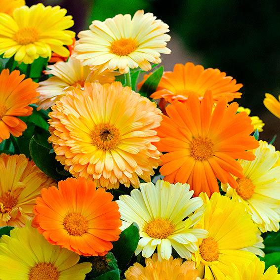 Ringelblume Daisy Mischung online kaufen bei Grtner Ptschke
