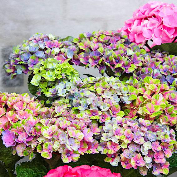 Hortensie Pflanzen Jahreszeit hortensie endless summer