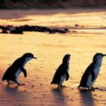 A Day Trip To Witness The Phillip Island Penguins