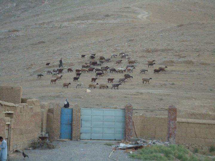 Boy herding sheep in Arghandeh