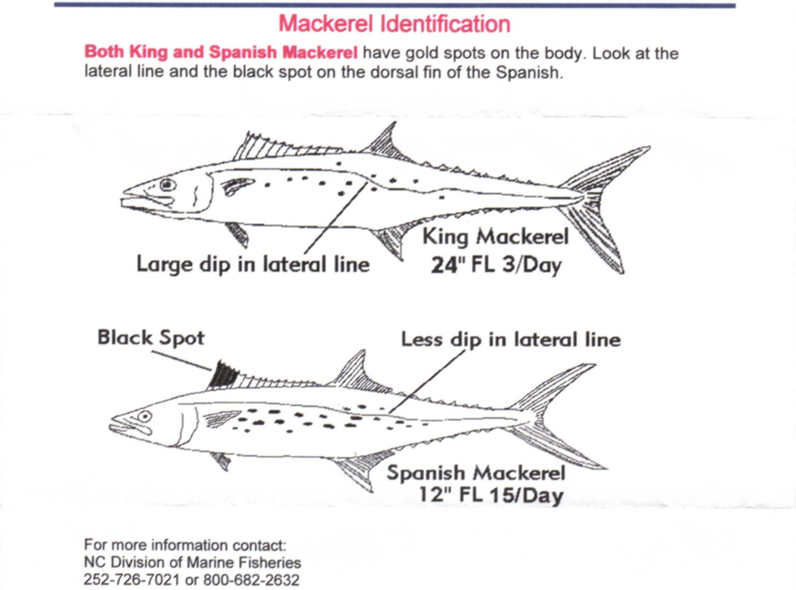 hight resolution of mackerel are considered oily fish and some people consider them strong flavored spanish mackerel are one of the lighter flavored fish in the mackerel