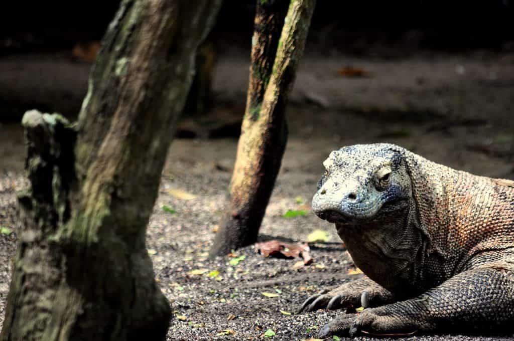 Komodo dragon, Komodo, Komodoisland, Pictures of Komodo dragons, komodo dragon island, Komodo National Park