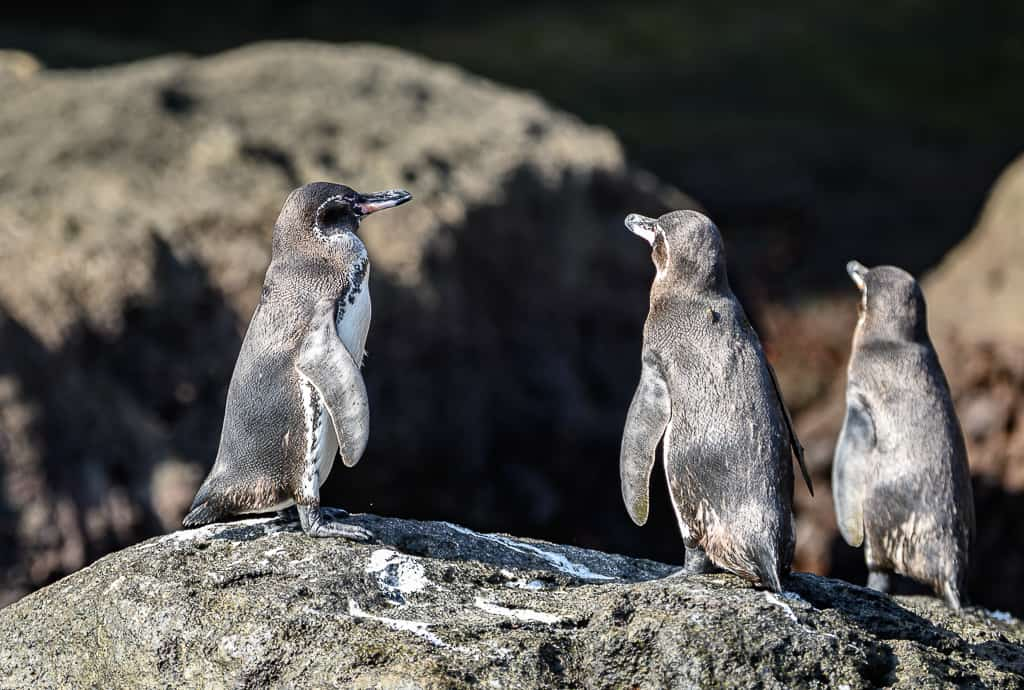 Animals of the Galapagos Islands, animals of Galapagos, Galapagos Island wildlife, Galapagos wildlife, Animals of the Galapagos, Galapagos Islands animals