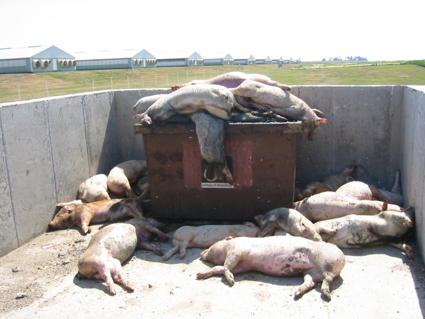 lots of dead pigs waiting to be rendered