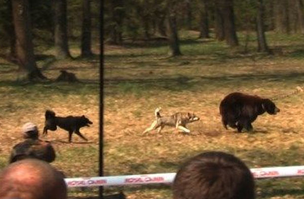 Bear baiting Royal Canin sponsored