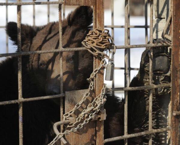 captured bear baiting cage ukraine