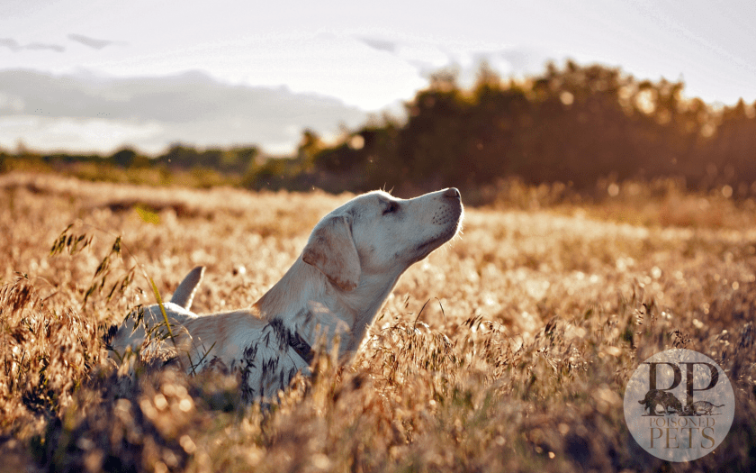 dog_labrador_face_grass_walking_sunshine-happy-sunny-lab-dog-food-recall-poisoned-pets
