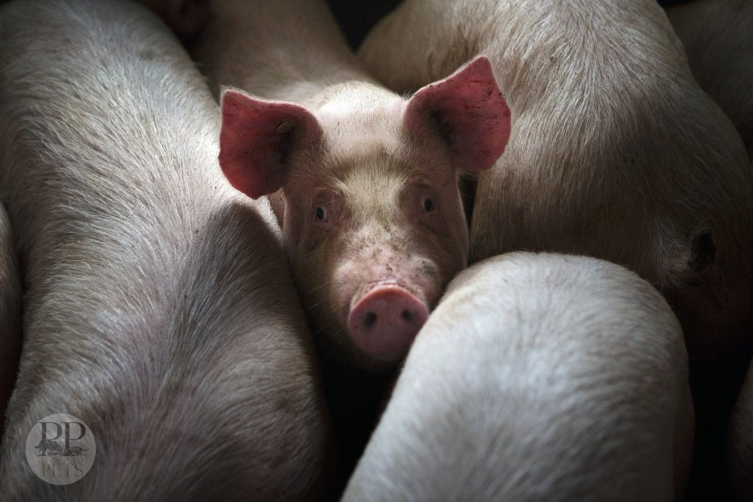 sad pigs meant for slaughter pig ears dogs