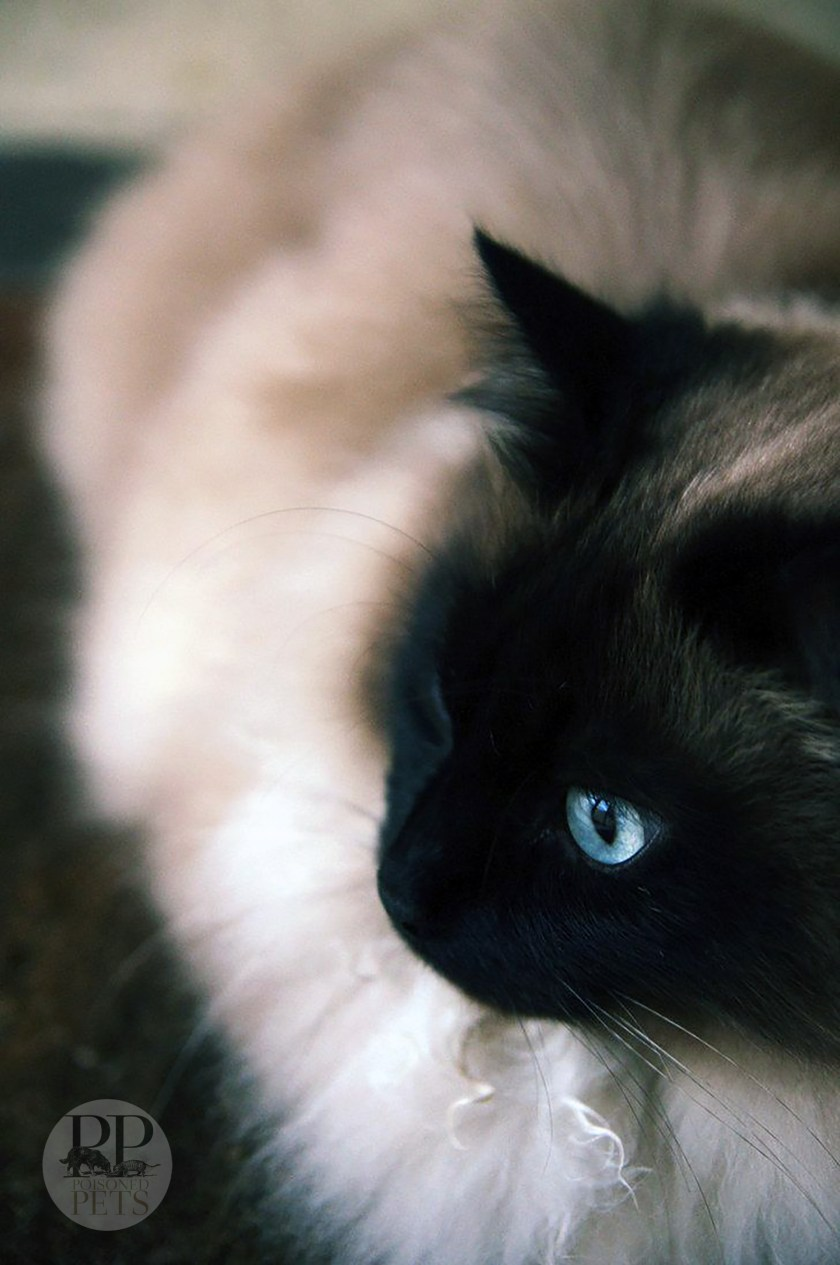 beautiful Siamese cat soft background blue eyes raw cat food recall