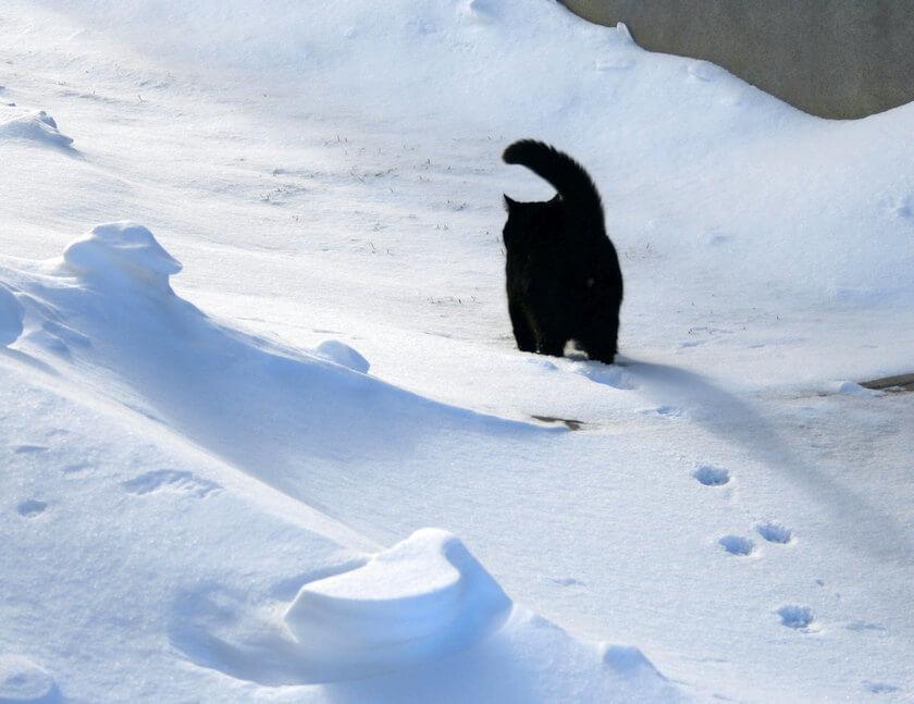 Cat_walking_on_the_snow