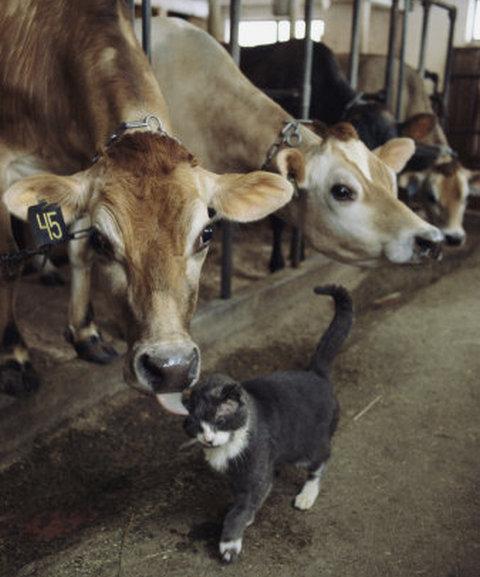 cat cows cute kisses