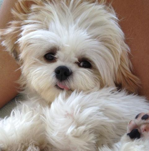 cute white little dog